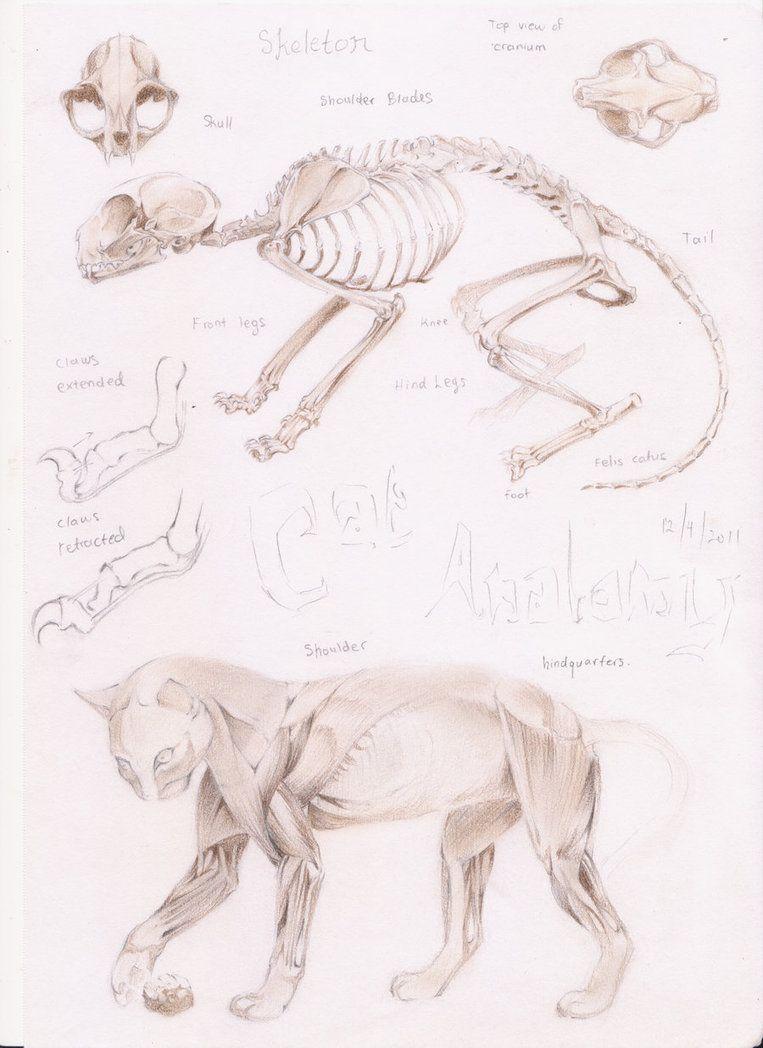 cat anatomy by emeraudolupus on DeviantArt | animals | Pinterest ...