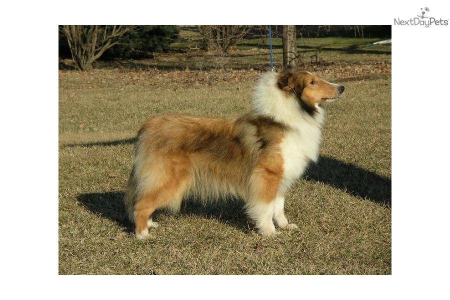 Meet Eva A Cute Shetland Sheepdog Sheltie Puppy For Sale For 400 A Home Of Her Own Sheltie Sheltie Puppies For Sale Sheltie Puppy