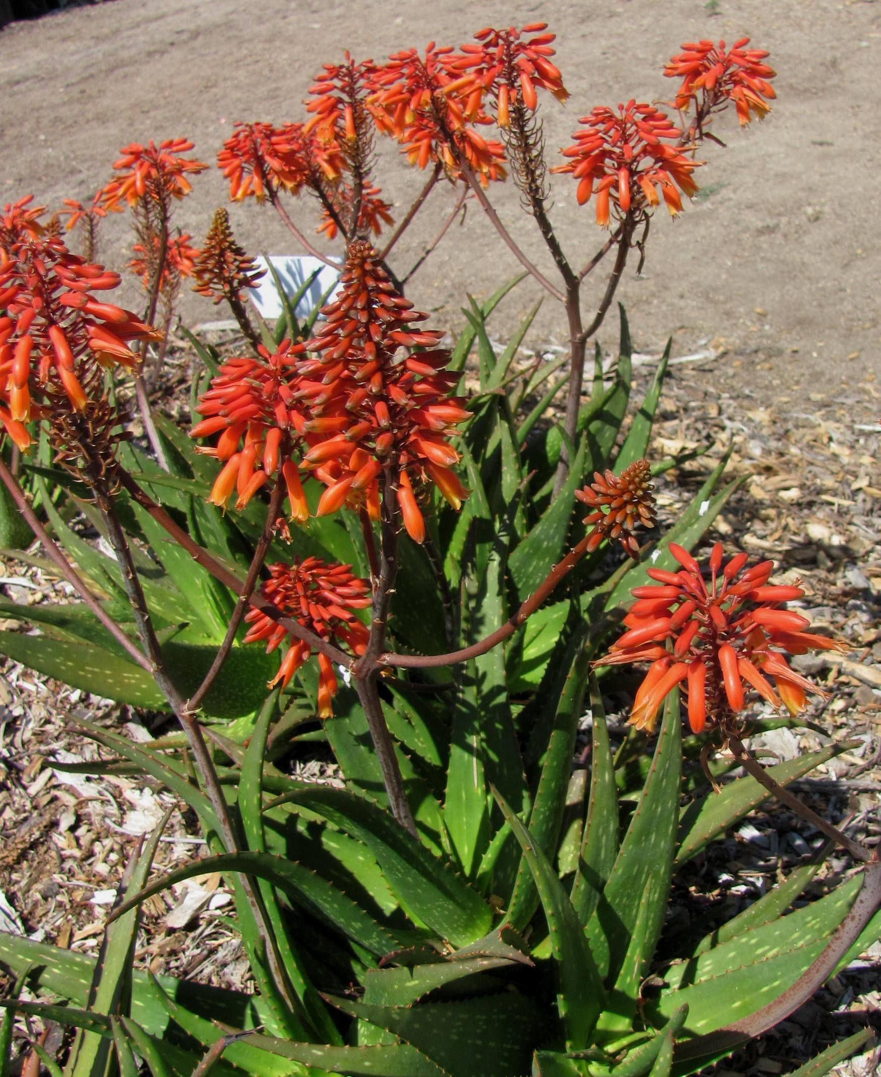 Aloe rudikoppe 'Little Gem' Xeriscape, Tropical plants
