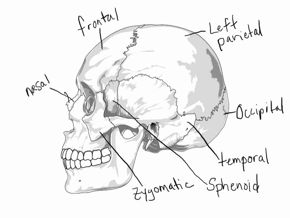 Anatomy Coloring Pages Of The Skull New Skull Anatomy Coloring Pages Coloringcks