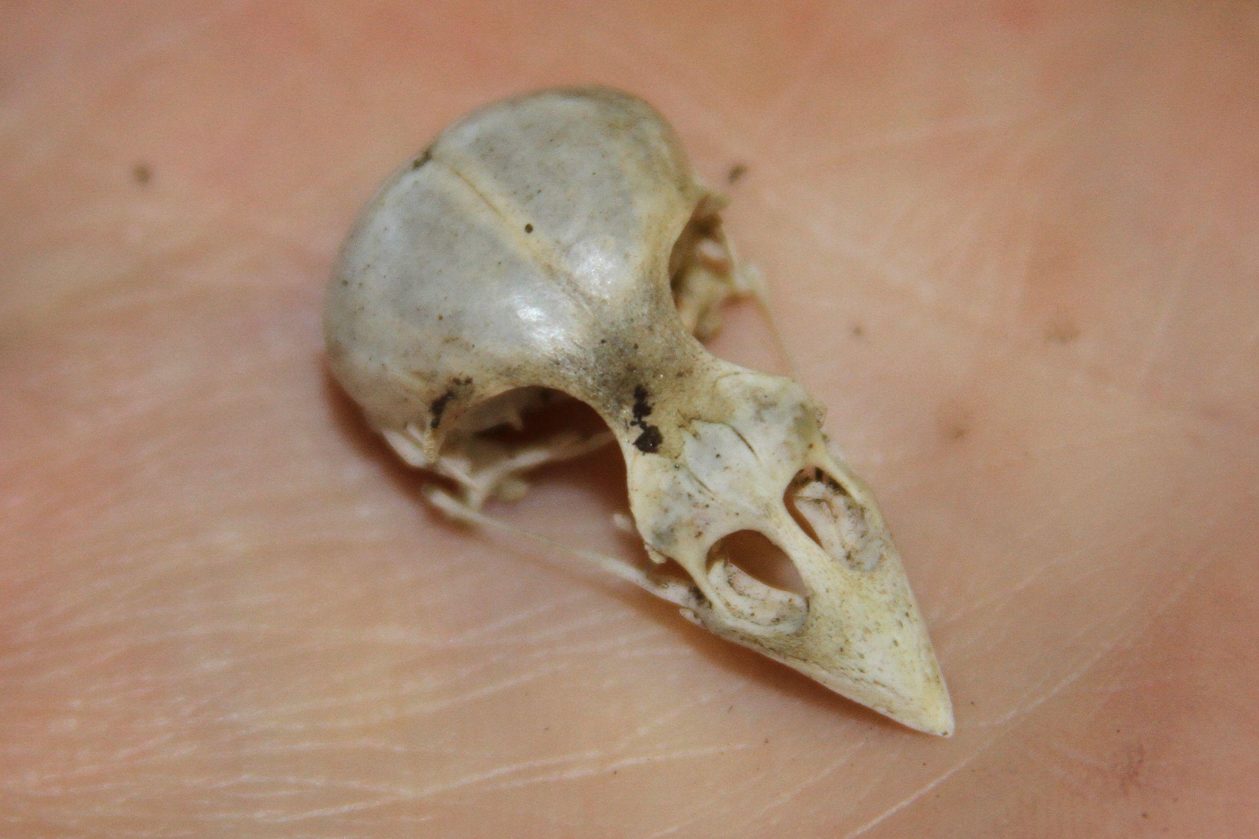 Unidentified Bird Skull - Found in Garden