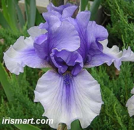 Electric Shock Tall Bearded Iris Iris Flowers Purple Iris Bearded Iris