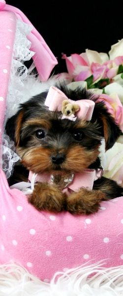 Teacup Yorkie Pupies For Sale Yorkie Puppies For Sale