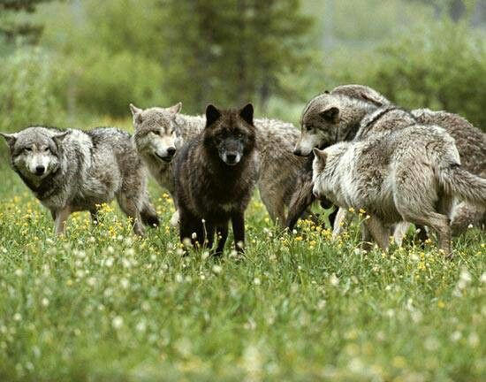 .wolf pack