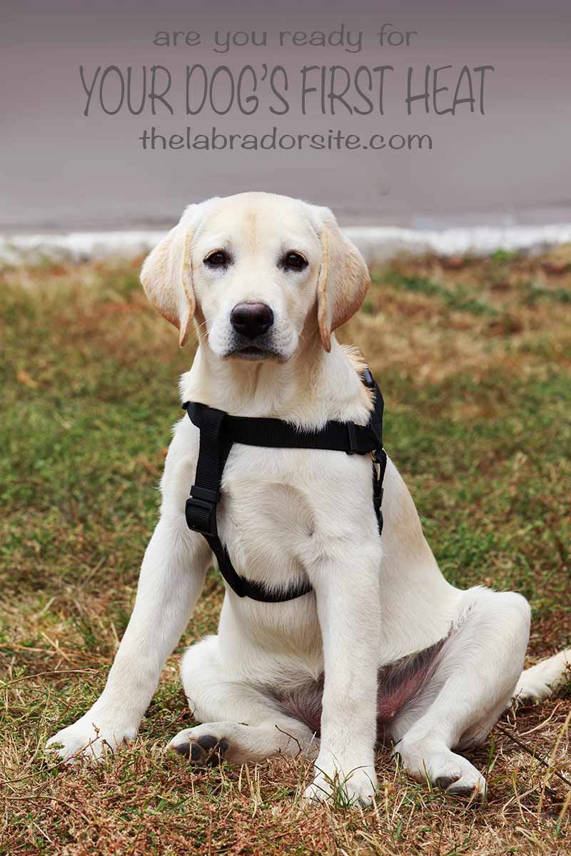 How Long Does A Dog Stay In Heat Expert Guide And Faq Dog