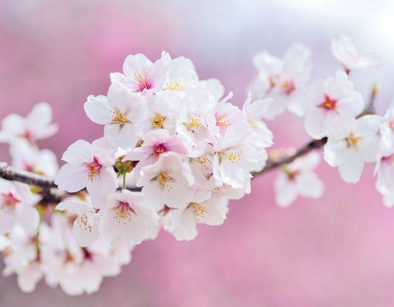 Japanese Cherry Blossom Sakura Painting Powerpoint Sakura Painting Sakura Tree Japanese Blossom