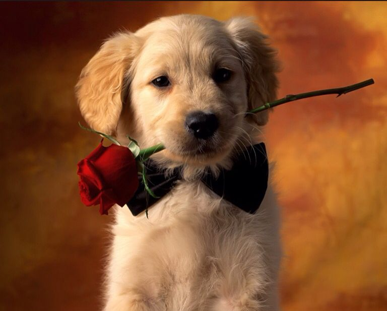 A Cute Puppy That Is Holding A Rose And Has A Bowtie On