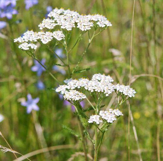 Achillea Millefolium White Yarrow Achillea Millefolium Achillea Wild Flower Meadow