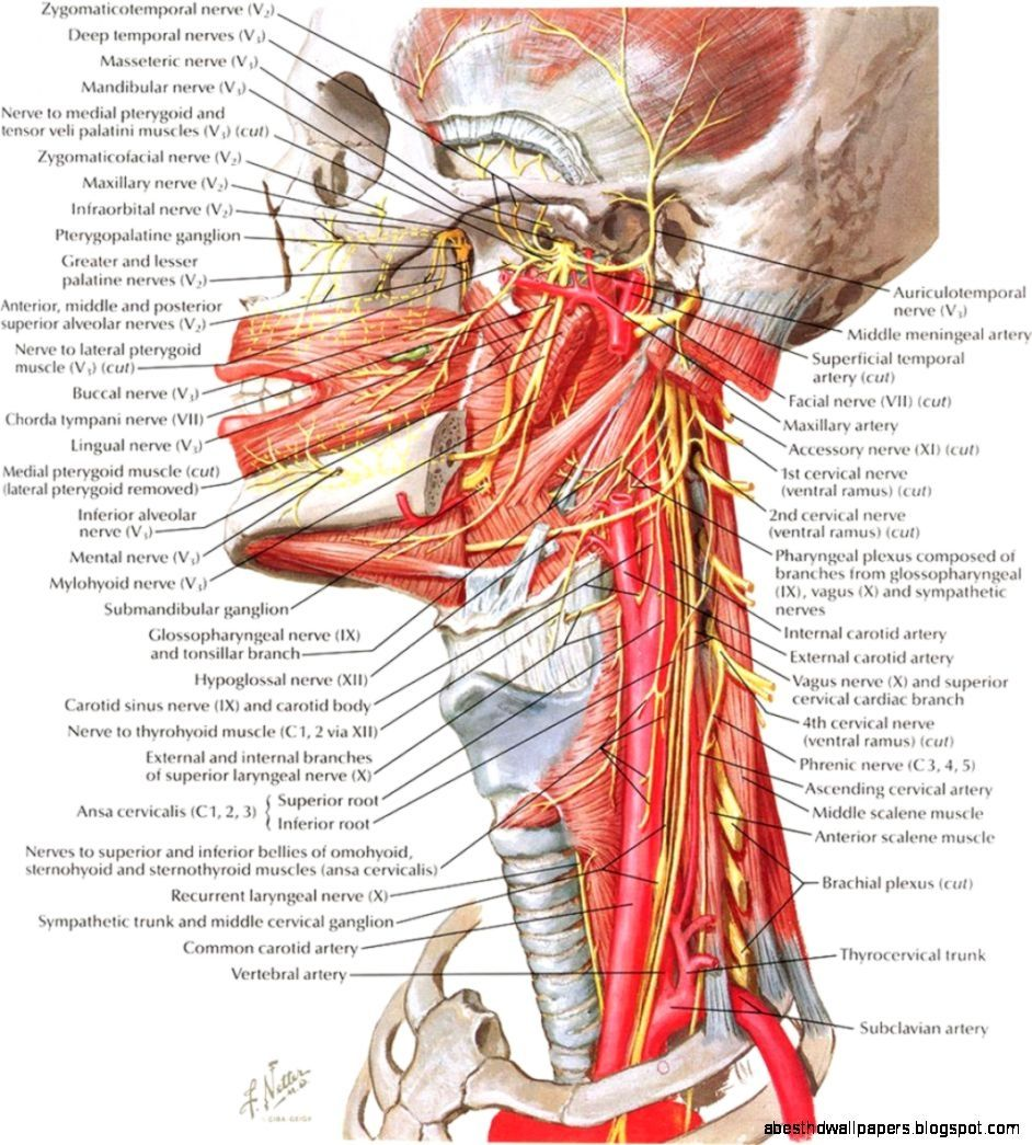 Human Anatomy Neck Neck Anatomy Best Hd Wallpapers | Anatomy ...