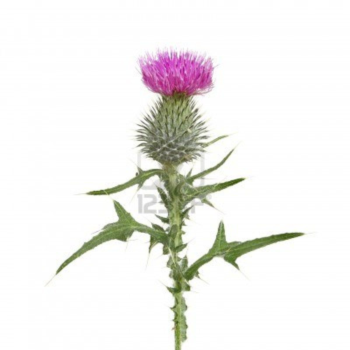 Thistle flower and leaves isolated against white tattoos thistle flower and leaves isolated against white mightylinksfo