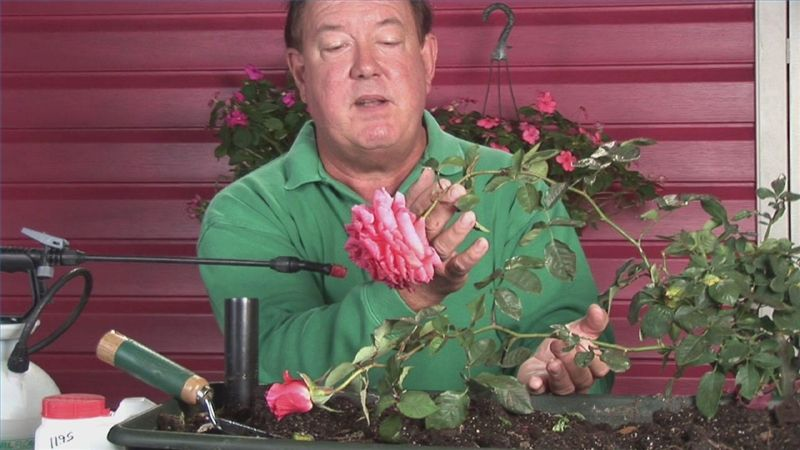 How to revive droopyheaded roses ehow