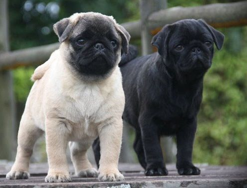 Cute Black Fawn Pug Puppies Fawn Pug