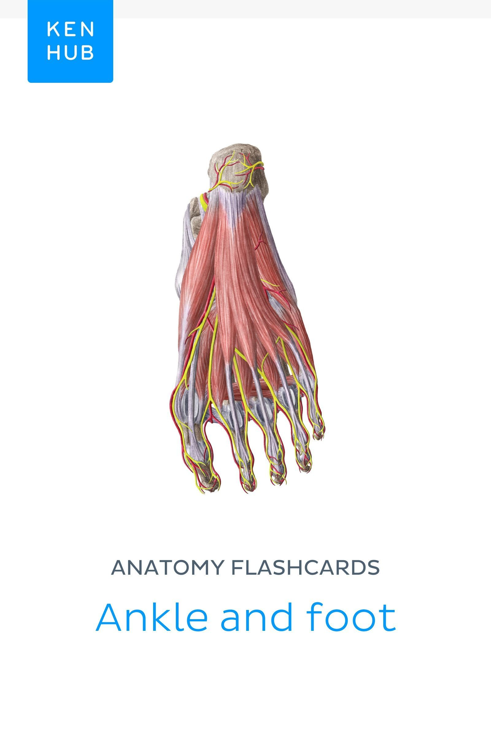 Feeling Too Lazy To Create Your Own Flashcards For Learning Anatomy