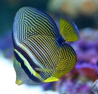 We Have A Sailfin Tang Named Merlin Animales De Oceano Animales Peces