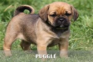 Black Puggle Full Grown Google Search Puggle Puppies Puggle