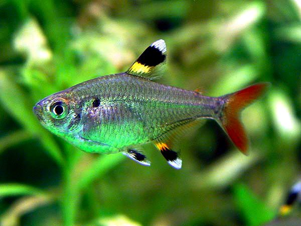 Pristella Maxillaris X Ray Tetra Tetra Fish Tropical Fish Pictures Tropical Fish