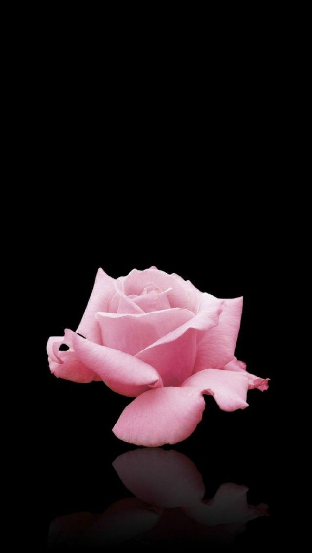 Pink Rose Iphone Wallpaper Background Nature Iphone Wallpaper Pink Wallpaper Backgrounds Pink Wallpaper Iphone