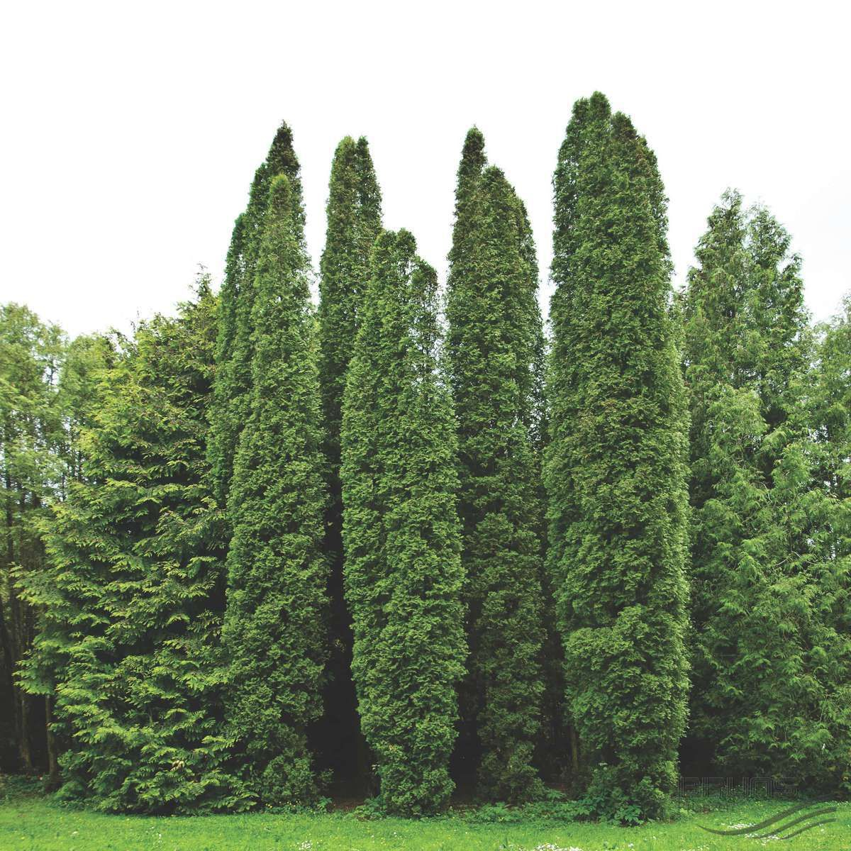 Evergreen Pflanzen thuja occidentalis columna туя западная колумна pflanzen