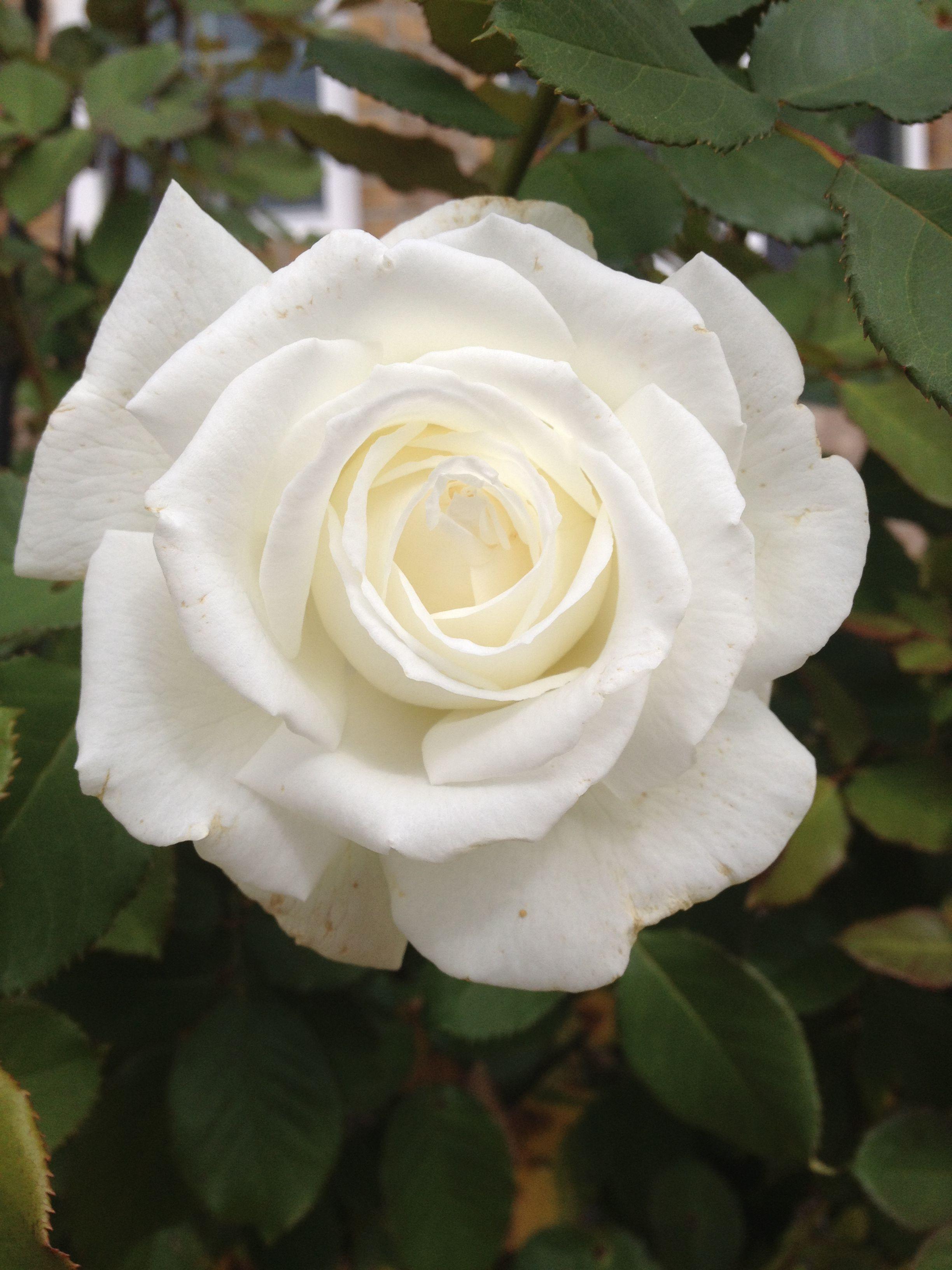 White Garden Rose pope john paul ii rose from my garden | a white garden | pinterest