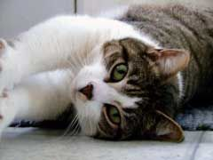 Cat Ear Mites How To Get Rid Of Them Cat Ear Mites Pets Cat
