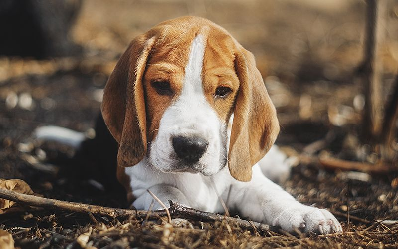 Beagle Names 200 Great Ideas For Naming Your Beagle Beagle