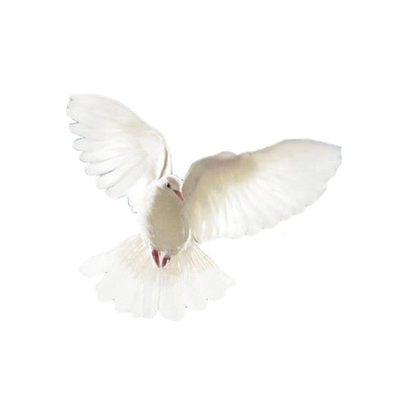 Dove, Dove wallpaper, Dove picture, Dove photo - Animal Pictures,... ❤ liked on Polyvore featuring birds, animals, backgrounds, decor and nature