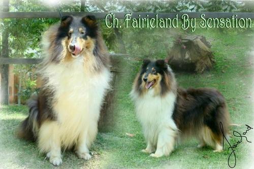 Ch. Fairieland By Sensation - Windhaven Is Old Fashioned way & Ch.Fairieland moonlife Banshee <BR>Criador e Proprietário: Fairieland. - Fotolog