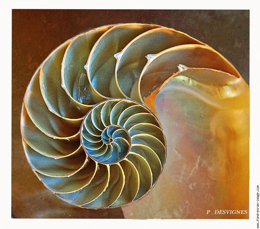 Nautilus Shell Eye Pinterest Nautilus Nautilus Shell And Shells