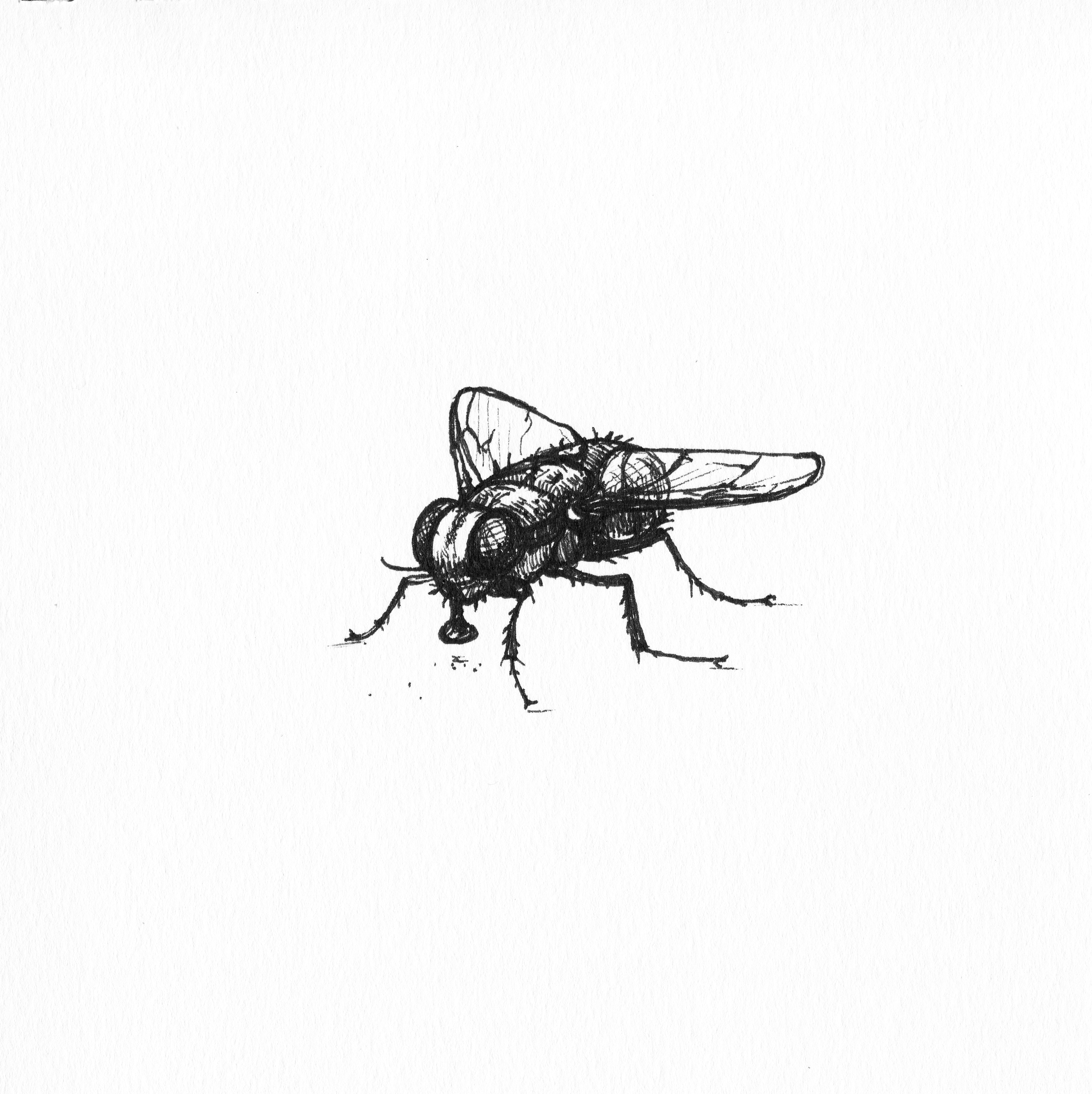 House Fly Fly Illustration Insect Fly Illustration Fly Sketch