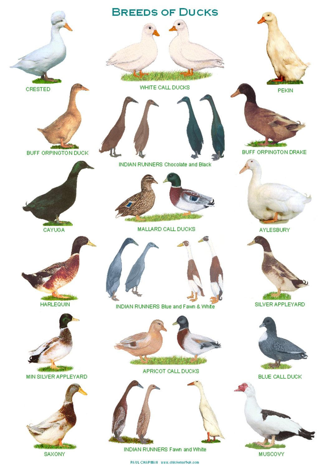 A4 laminated posters breeds of pigs a4 animal and bird for Duck house size