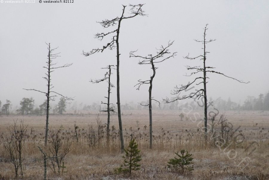 Kelopuut suolla - suo suomaa avosuo kelo kelottunut kuiva kuivunut puu  kitukasvuinen Siikaneva talvi usva sumu luonnonilmiö leuto talvisää metsäsaareke mänty Pirkanmaan suurin soidensuojelukohde alue puusto