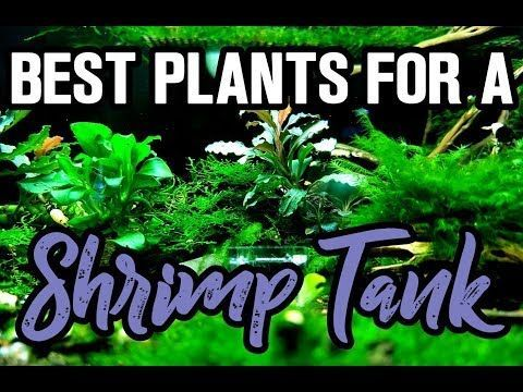 We'll share a few Aquarium Plants For Shrimp Tanks. Floating plants, low light plants, high light plants and other options for a shrimp tank.
