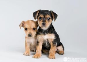 Adopt Yorkie Chihuahua Pups On Yorkie Chihuahua Mix Chihuahua