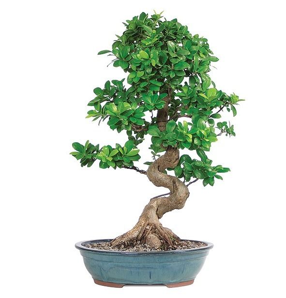 Ginseng Grafted Ficus Indoor Bonsai Pinterest Bonsai Ficus