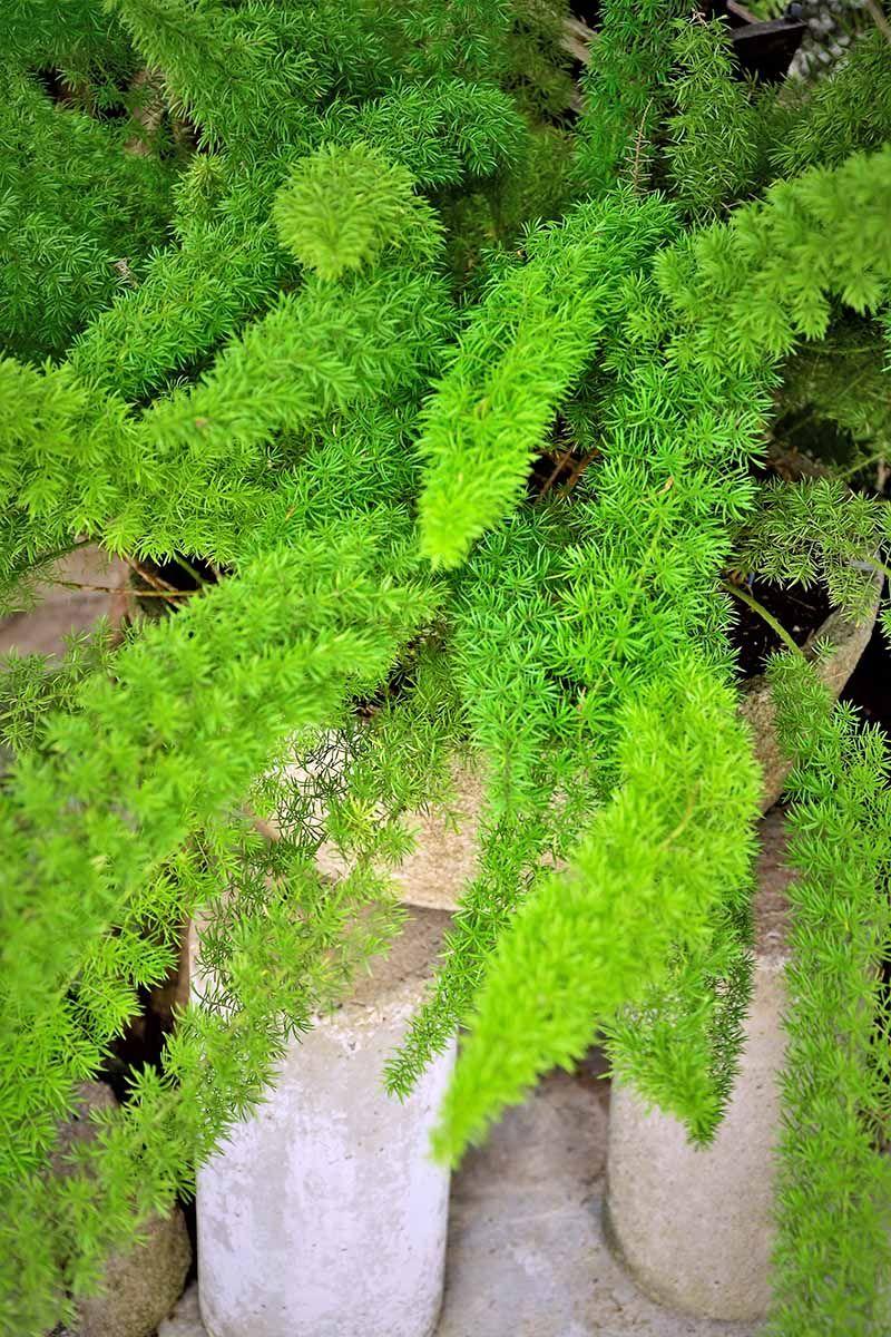 Learn How To Grow Asparagus Fern Asparagus Fern Outdoor 400 x 300