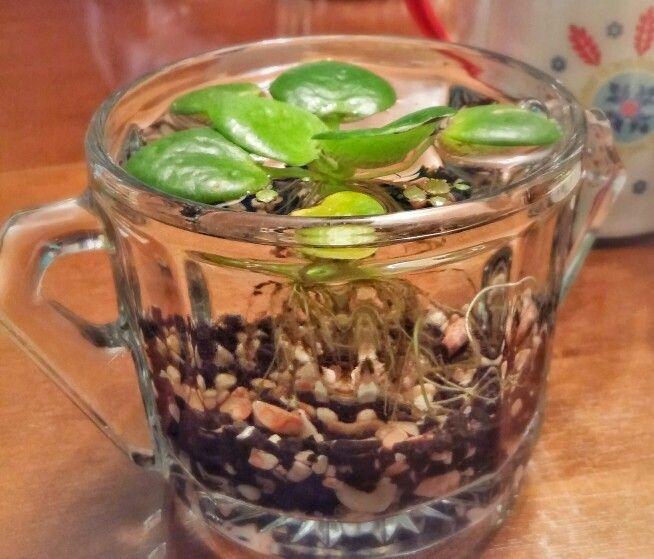 Planta acuatica en azucarera de vidrio