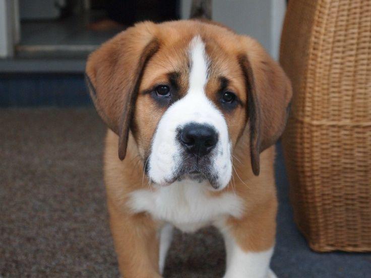 English Bulldog Greater Swiss Mountain Dog Mix Google Search