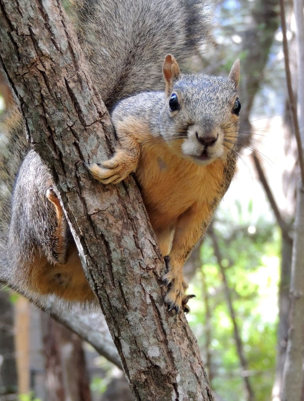 Texas Fox Squirrel Fox squirrel, Nature photography, Animals