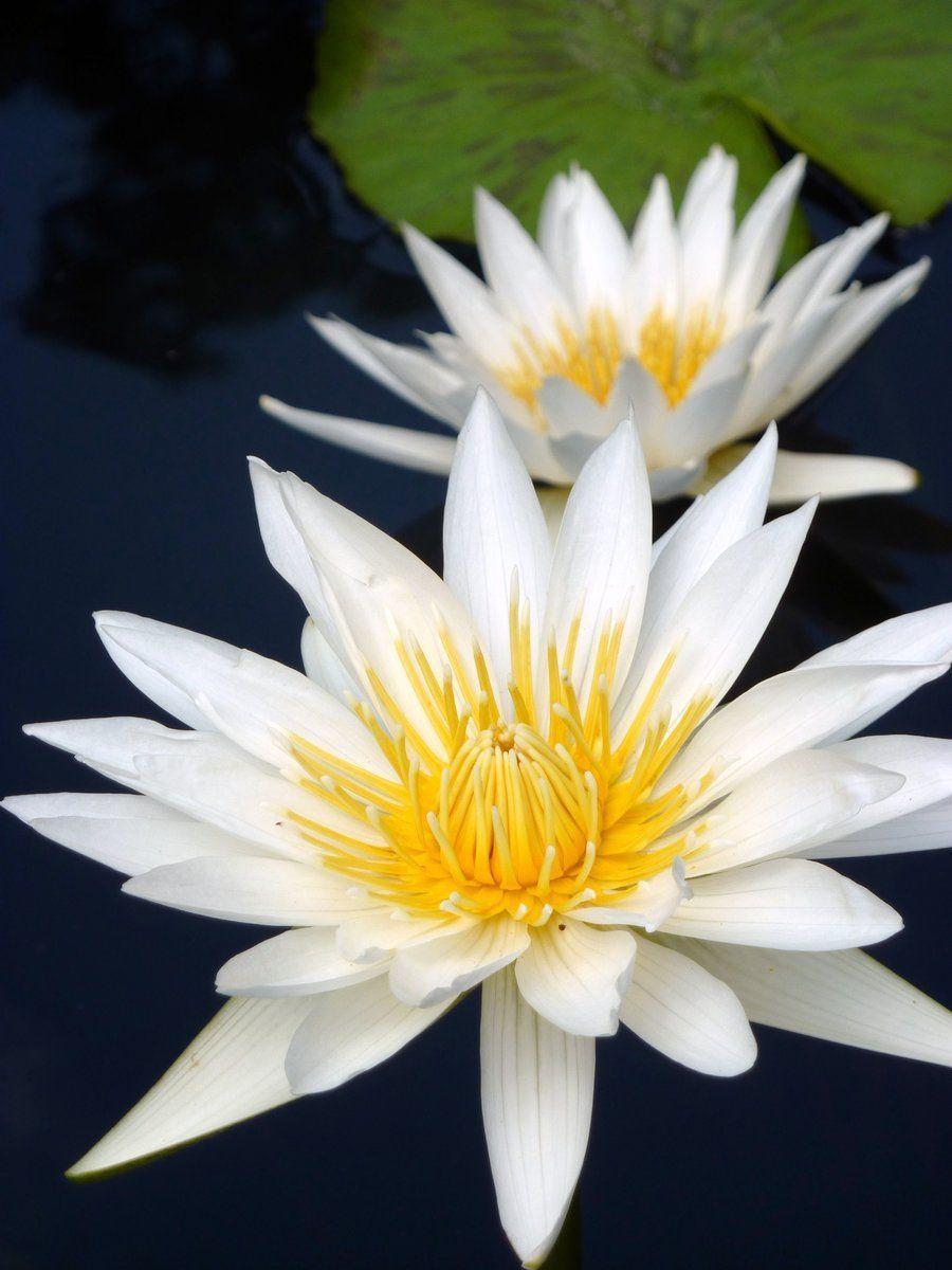 Water Lily at the Dallas Arboretum (con imágenes)