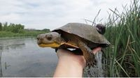 Blandings Turtle At Pheasant Branch >> Blanding S Turtles At Pheasant Branch Conservancy Park Wildlife