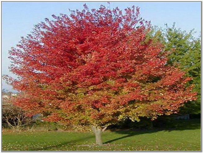 Fast Growing Fruit Trees Zone 5 Fruit Venusvein Com Y4rddwlr8d Growing Fruit Trees Deciduous Trees Trees To Plant