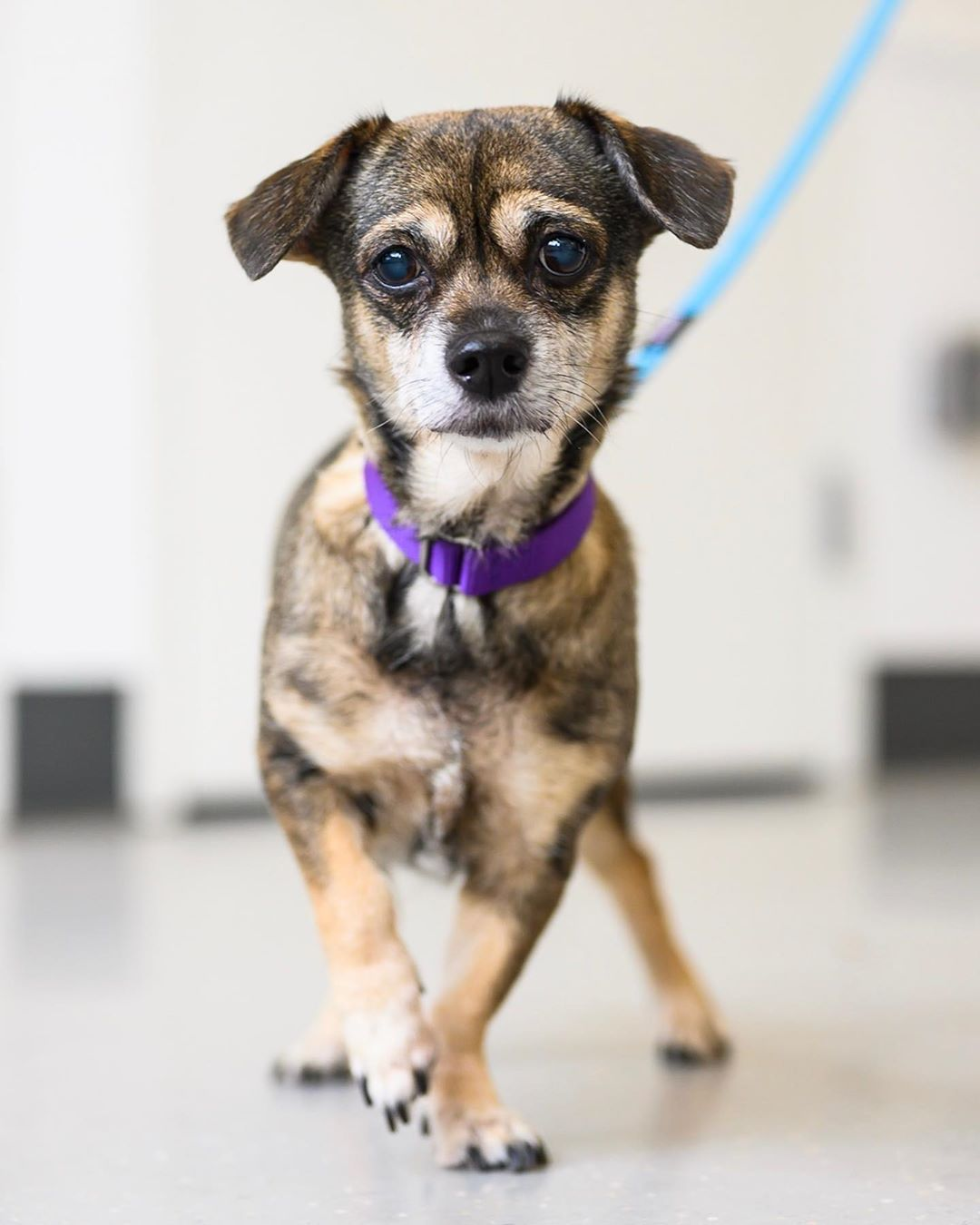 The Dogist On Instagram Adoptable Edith Chiweenie Mix 7 Y O