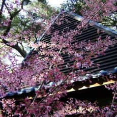 Welcome springtime with this annual celebration of Japanese culture and the beautiful flowering trees in the landscape. Enjoy music, origami, food and guided garden walks. Activities free with admission unless noted