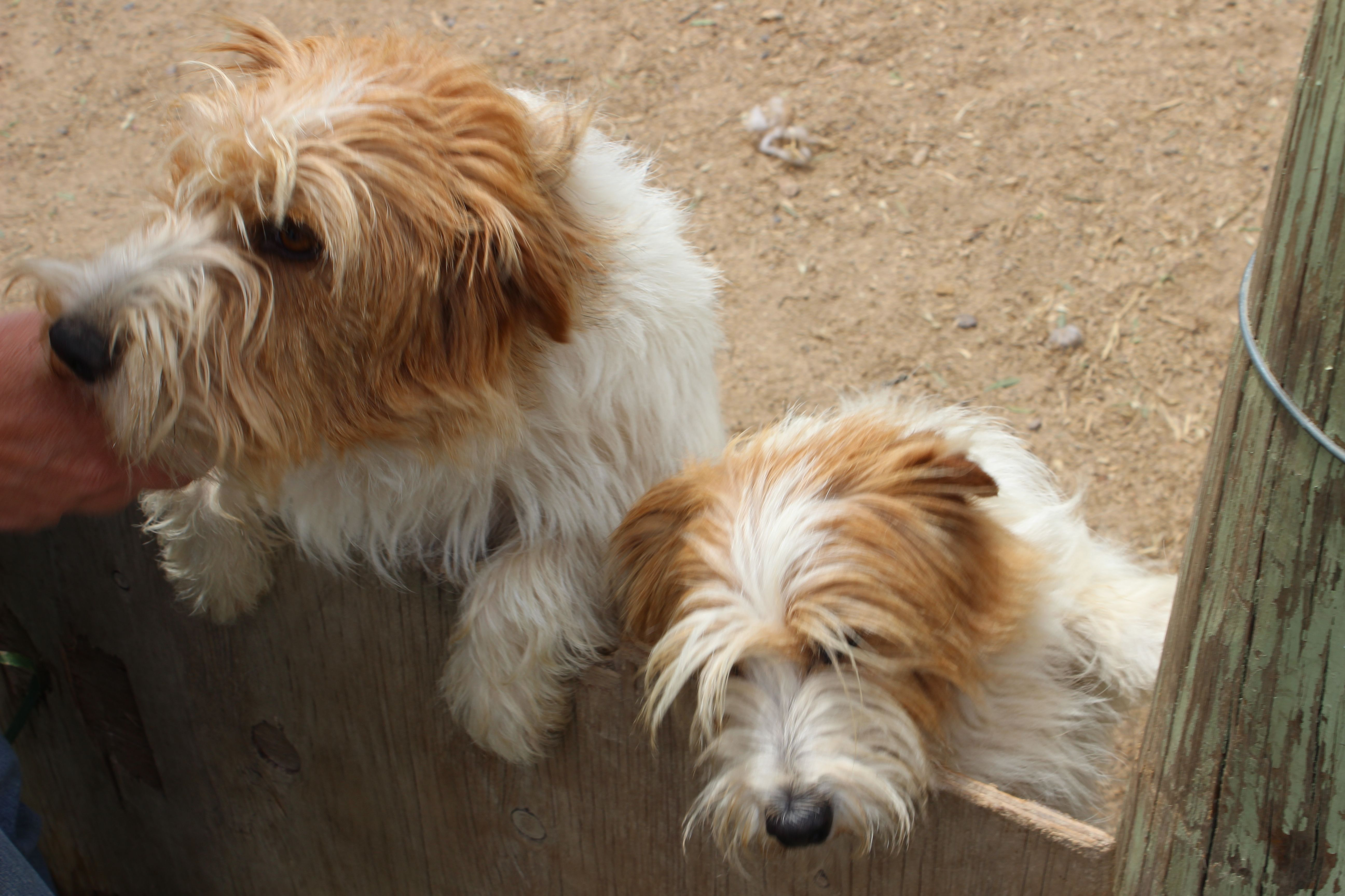 Rough Coat Jack Russell Terrier Puppies Furry Kids and