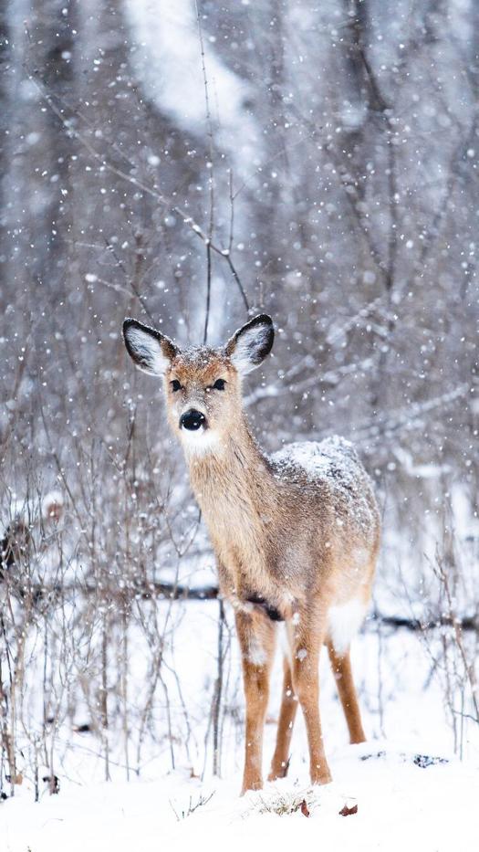 Winter Deer Wallpaper Background Dor Iphone Animal Photo Winter Animals Animals