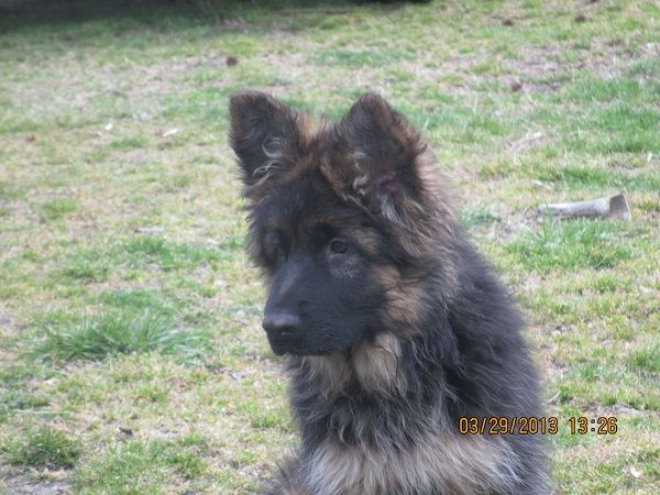 Akc Long Coat German Shepherd Male 12 Weeks Old Long Coat