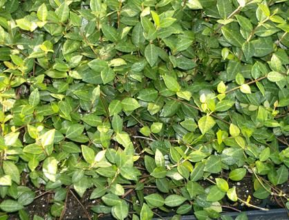 Purple Ground Cover In Florida Burnett S Whole Nursery