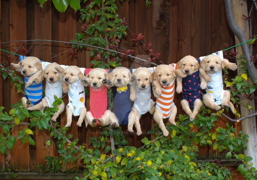Clothes Line Golden Retriever Puppies By Familyfunpack Golden