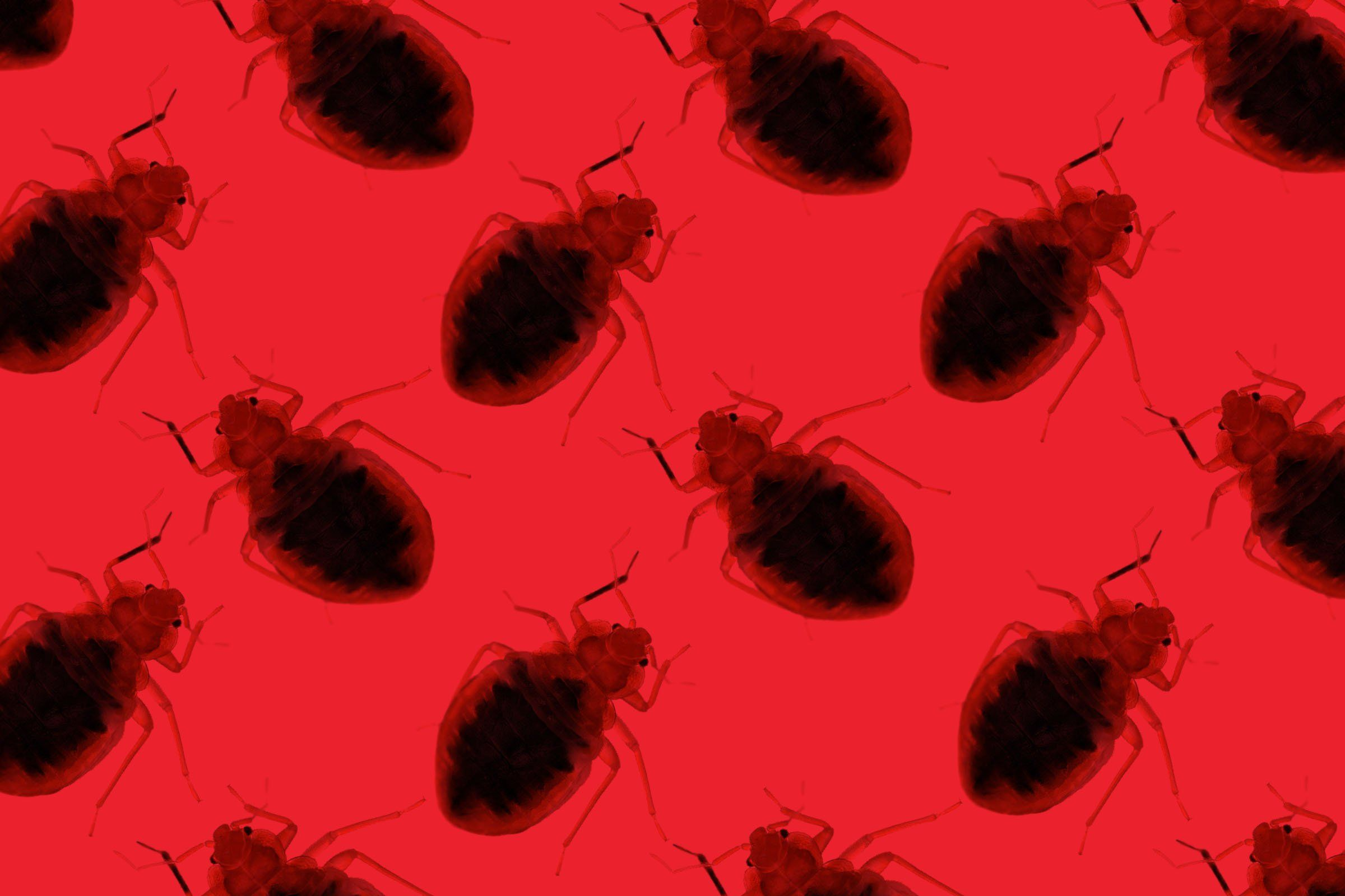 What Causes Bed Bugs? Bed bugs, Signs of bed bugs, Bugs