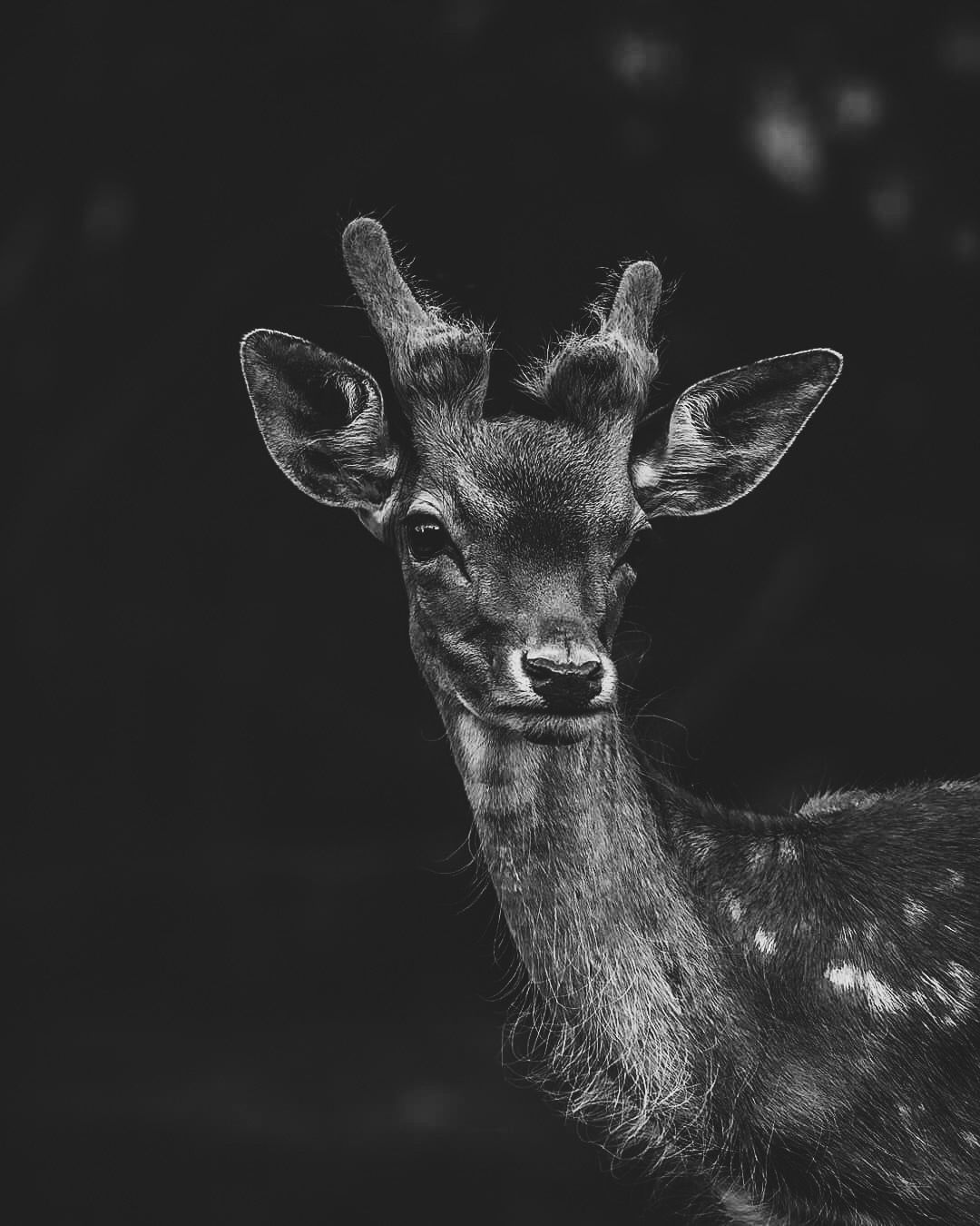 Astonishing black and white young male deer black and white